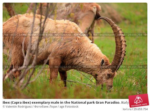 Купить «Ibex (Capra ibex) exemplary male in the National park Gran Paradiso. Italy.», фото № 29659754, снято 8 июня 2018 г. (c) age Fotostock / Фотобанк Лори