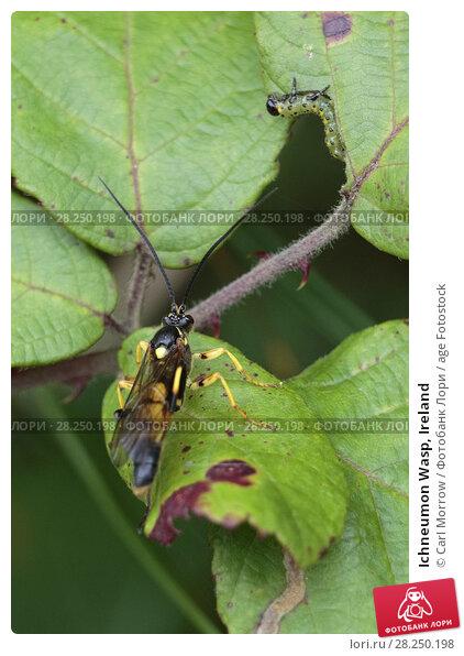 Купить «Ichneumon Wasp, Ireland», фото № 28250198, снято 20 августа 2017 г. (c) age Fotostock / Фотобанк Лори