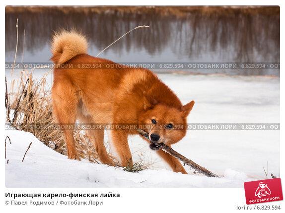 Купить «Играющая карело-финская лайка», фото № 6829594, снято 3 ноября 2014 г. (c) Павел Родимов / Фотобанк Лори