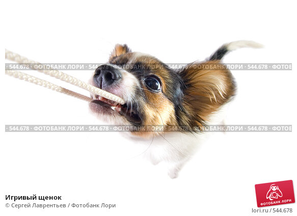 Купить «Игривый щенок», фото № 544678, снято 5 ноября 2008 г. (c) Сергей Лаврентьев / Фотобанк Лори