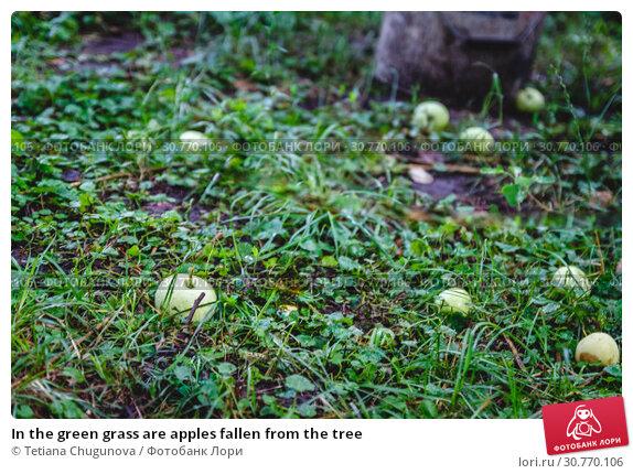 Купить «In the green grass are apples fallen from the tree», фото № 30770106, снято 30 июня 2018 г. (c) Tetiana Chugunova / Фотобанк Лори