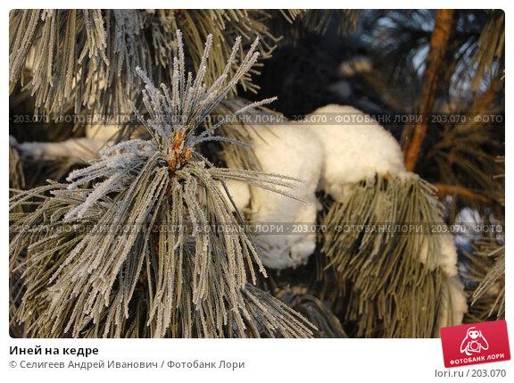 Купить «Иней на кедре», фото № 203070, снято 2 февраля 2008 г. (c) Селигеев Андрей Иванович / Фотобанк Лори