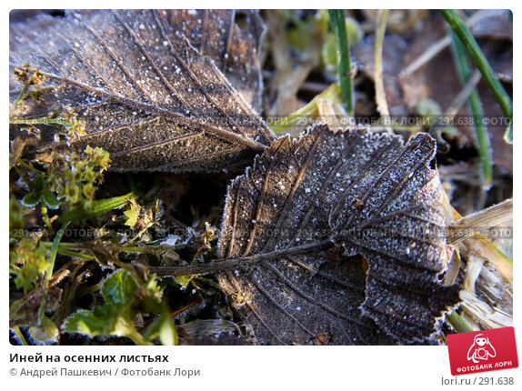 Иней на осенних листьях, фото № 291638, снято 5 декабря 2016 г. (c) Андрей Пашкевич / Фотобанк Лори