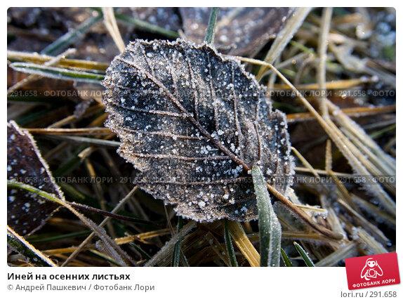 Купить «Иней на осенних листьях», фото № 291658, снято 22 апреля 2018 г. (c) Андрей Пашкевич / Фотобанк Лори