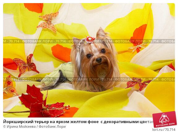 Йоркширский терьер на ярком желтом фоне  с декоративными цветами и бабочками, фото № 70714, снято 24 октября 2006 г. (c) Ирина Мойсеева / Фотобанк Лори