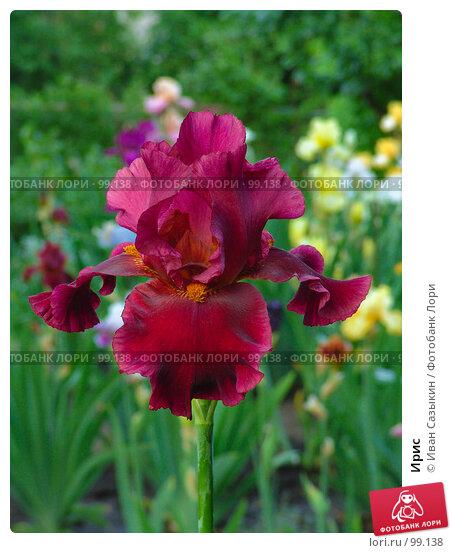 Купить «Ирис», фото № 99138, снято 25 мая 2005 г. (c) Иван Сазыкин / Фотобанк Лори