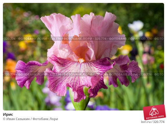 Купить «Ирис», фото № 320774, снято 23 мая 2008 г. (c) Иван Сазыкин / Фотобанк Лори
