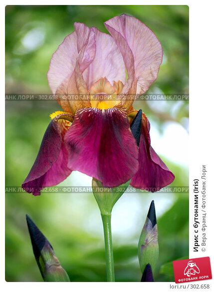 Ирис с бутонами (Iris), фото № 302658, снято 17 мая 2008 г. (c) Вера Франц / Фотобанк Лори