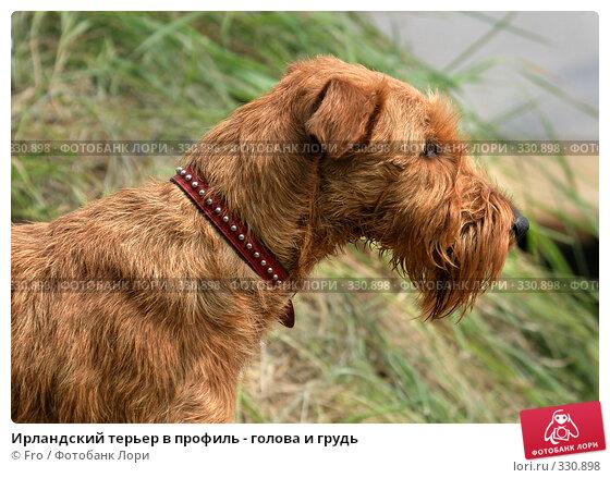 Ирландский терьер в профиль - голова и грудь, фото № 330898, снято 12 июня 2008 г. (c) Fro / Фотобанк Лори