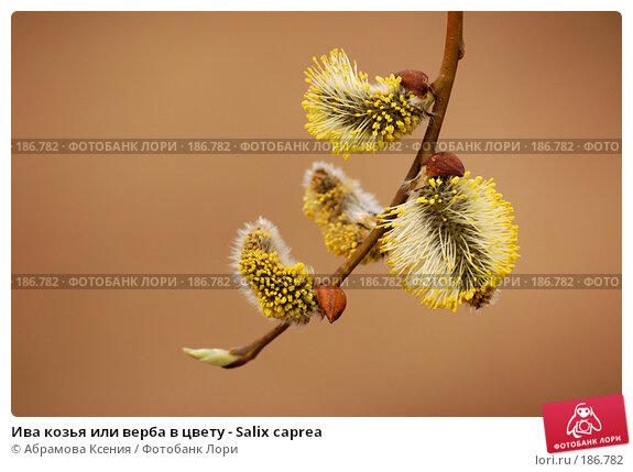 Ива козья или верба в цвету - Salix caprea, фото № 186782, снято 28 апреля 2006 г. (c) Абрамова Ксения / Фотобанк Лори