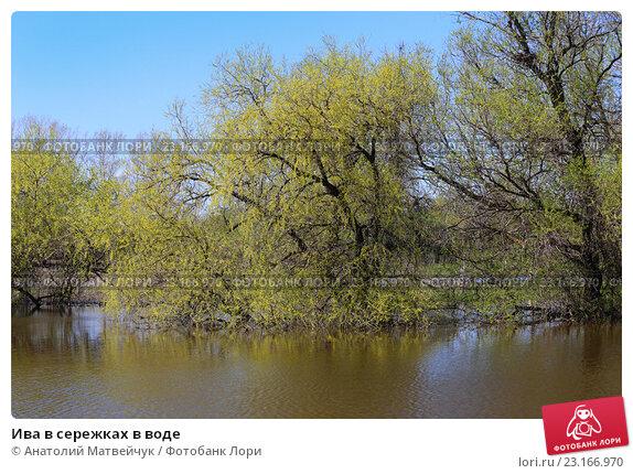 Ива в сережках в воде. Стоковое фото, фотограф Анатолий Матвейчук / Фотобанк Лори