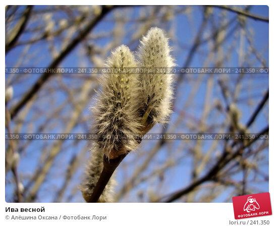 Ива весной, эксклюзивное фото № 241350, снято 2 апреля 2008 г. (c) Алёшина Оксана / Фотобанк Лори
