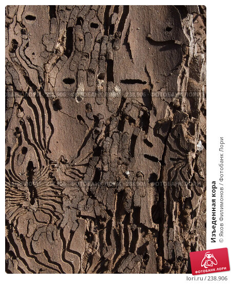 Купить «Изъеденная кора», фото № 238906, снято 25 марта 2018 г. (c) Яков Филимонов / Фотобанк Лори
