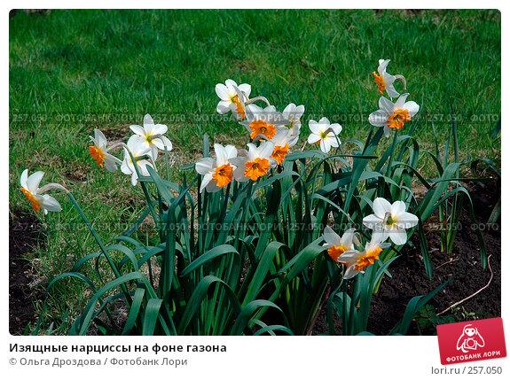 Изящные нарциссы на фоне газона, фото № 257050, снято 14 мая 2005 г. (c) Ольга Дроздова / Фотобанк Лори