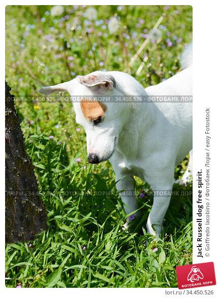 Jack Russell dog free spirit. Стоковое фото, фотограф Goffredo Iacobino / easy Fotostock / Фотобанк Лори