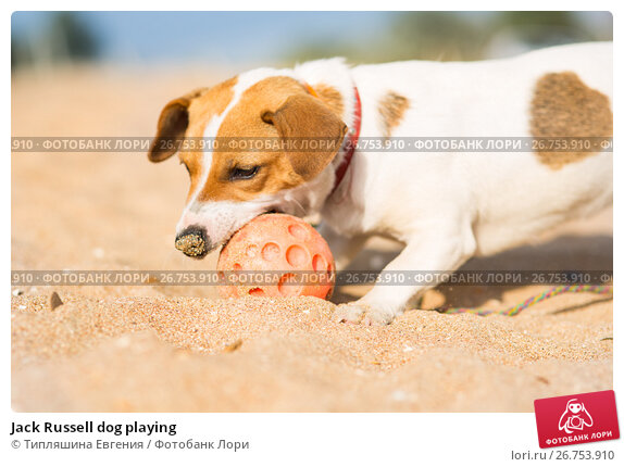 Купить «Jack Russell dog playing», фото № 26753910, снято 28 июля 2017 г. (c) Типляшина Евгения / Фотобанк Лори