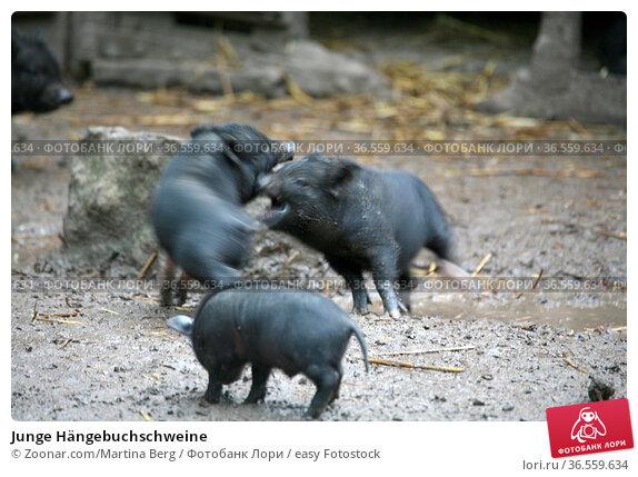 Junge Hängebuchschweine. Стоковое фото, фотограф Zoonar.com/Martina Berg / easy Fotostock / Фотобанк Лори