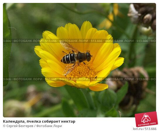 Купить «Календула, пчелка собирает нектар», фото № 513666, снято 22 августа 2004 г. (c) Сергей Бехтерев / Фотобанк Лори