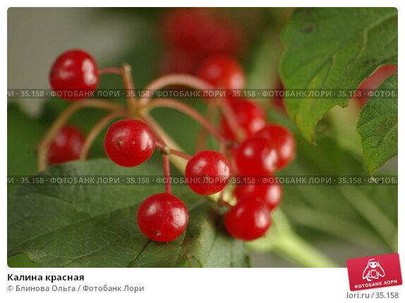 Купить «Калина красная», фото № 35158, снято 5 октября 2006 г. (c) Блинова Ольга / Фотобанк Лори