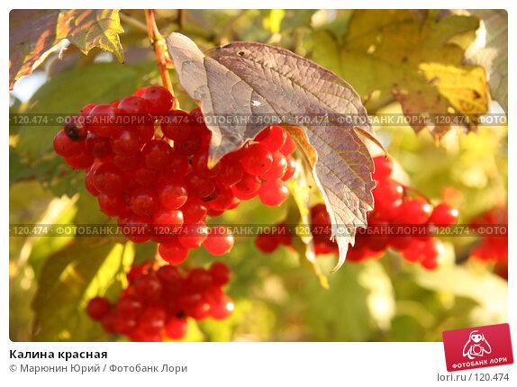Калина красная, фото № 120474, снято 29 сентября 2007 г. (c) Марюнин Юрий / Фотобанк Лори