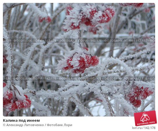Купить «Калина под инеем», фото № 142178, снято 7 декабря 2007 г. (c) Александр Литовченко / Фотобанк Лори