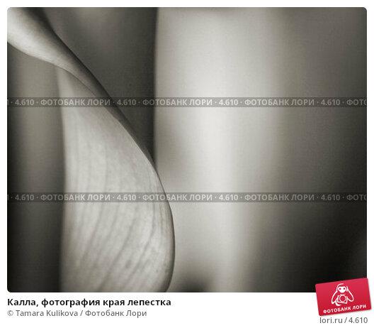 Калла, фотография края лепестка, фото № 4610, снято 5 ноября 2005 г. (c) Tamara Kulikova / Фотобанк Лори