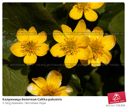 Калужница болотная Caltha palustris, фото № 134834, снято 14 августа 2006 г. (c) Serg Zastavkin / Фотобанк Лори