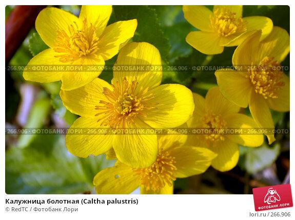 Купить «Калужница болотная (Caltha palustris)», фото № 266906, снято 29 апреля 2008 г. (c) RedTC / Фотобанк Лори