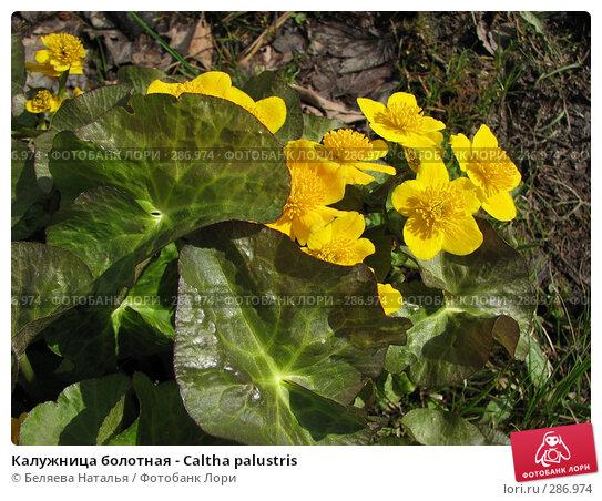 Купить «Калужница болотная - Caltha palustris», фото № 286974, снято 20 мая 2007 г. (c) Беляева Наталья / Фотобанк Лори