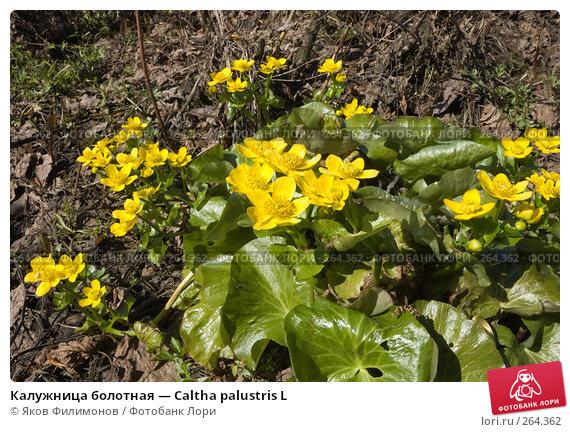 Калужница болотная — Сaltha palustris L, фото № 264362, снято 26 апреля 2008 г. (c) Яков Филимонов / Фотобанк Лори