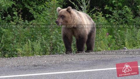 Купить «Камчатский бурый медведь идет по обочине дороги», видеоролик № 29136566, снято 14 августа 2018 г. (c) А. А. Пирагис / Фотобанк Лори