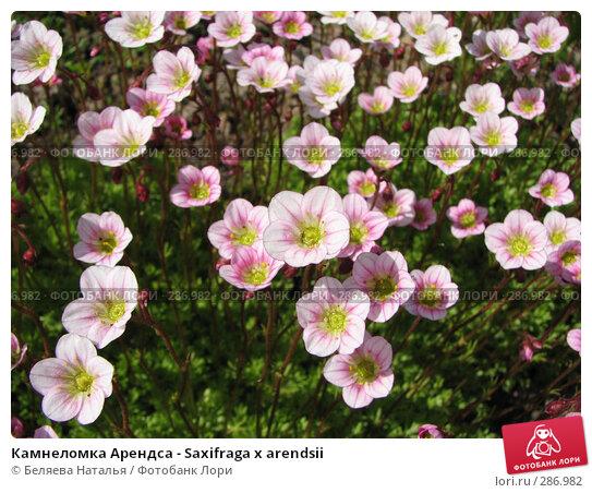 Камнеломка Арендса - Saxifraga x arendsii, фото № 286982, снято 12 июня 2007 г. (c) Беляева Наталья / Фотобанк Лори