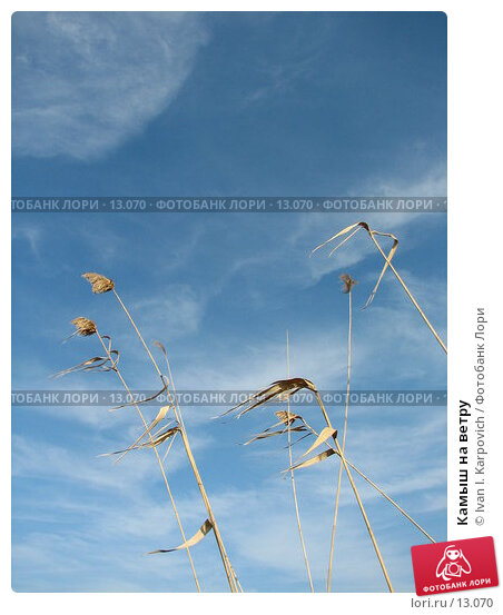Купить «Камыш на ветру», фото № 13070, снято 9 октября 2006 г. (c) Ivan I. Karpovich / Фотобанк Лори