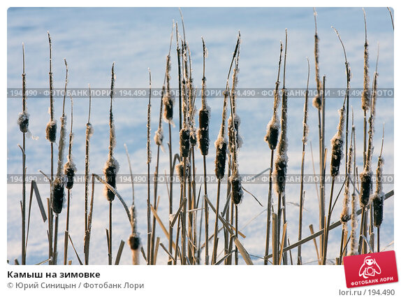 Камыш на зимовке, фото № 194490, снято 6 января 2008 г. (c) Юрий Синицын / Фотобанк Лори
