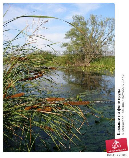 Камыши на фоне пруда, фото № 7106, снято 26 июля 2006 г. (c) Минакова Татьяна / Фотобанк Лори