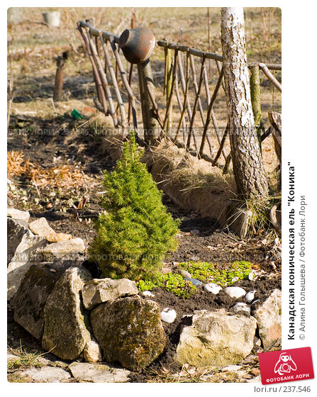 """Канадская коническая ель """"Коника"""", эксклюзивное фото № 237546, снято 25 мая 2017 г. (c) Алина Голышева / Фотобанк Лори"""
