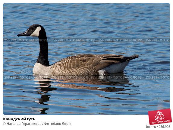 Канадский гусь, фото № 256998, снято 18 апреля 2008 г. (c) Наталья Герасимова / Фотобанк Лори