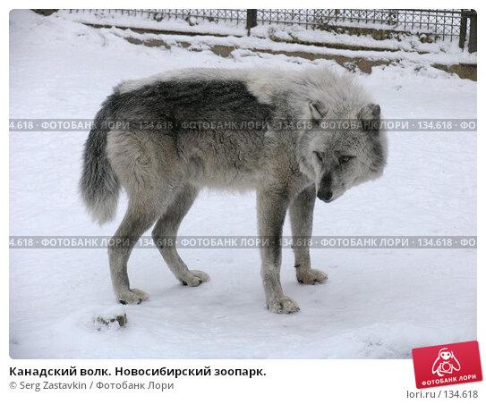 Канадский волк. Новосибирский зоопарк., фото № 134618, снято 7 ноября 2004 г. (c) Serg Zastavkin / Фотобанк Лори
