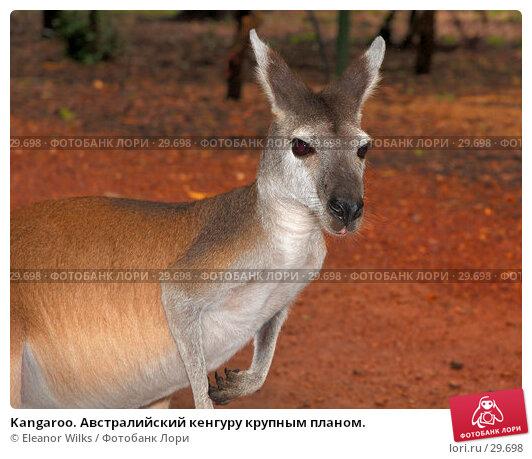 Купить «Kangaroo. Австралийский кенгуру крупным планом.», фото № 29698, снято 15 апреля 2007 г. (c) Eleanor Wilks / Фотобанк Лори