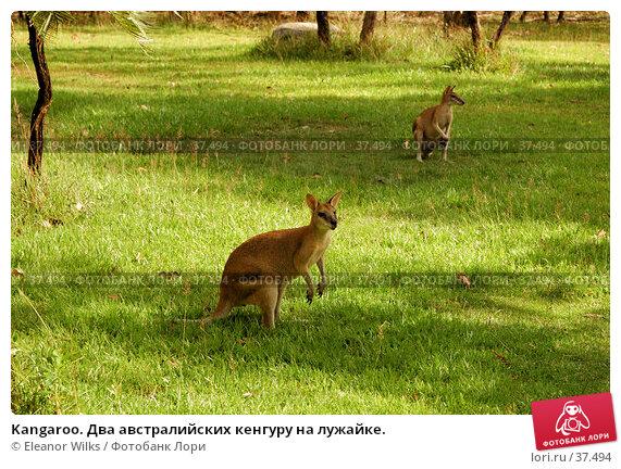 Kangaroo. Два австралийских кенгуру на лужайке., фото № 37494, снято 14 мая 2007 г. (c) Eleanor Wilks / Фотобанк Лори