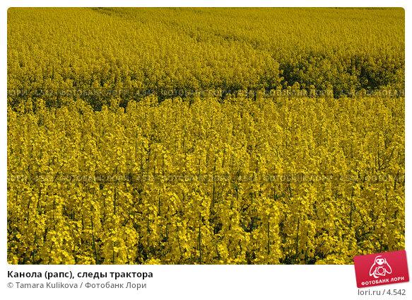 Канола (рапс), следы трактора, фото № 4542, снято 5 мая 2006 г. (c) Tamara Kulikova / Фотобанк Лори