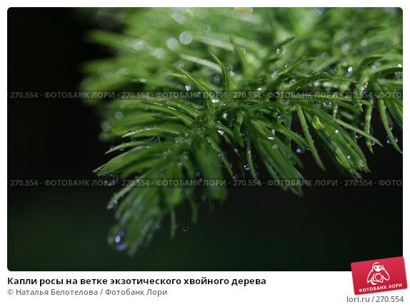 Капли росы на ветке экзотического хвойного дерева, фото № 270554, снято 3 мая 2008 г. (c) Наталья Белотелова / Фотобанк Лори
