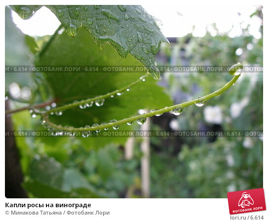 Капли росы на винограде, фото № 6614, снято 17 июня 2006 г. (c) Минакова Татьяна / Фотобанк Лори