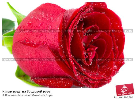 Купить «Капли воды на бордовой розе», фото № 190590, снято 16 февраля 2007 г. (c) Валентин Мосичев / Фотобанк Лори
