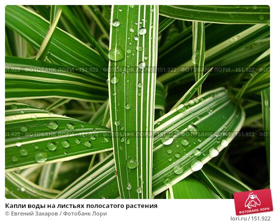 Капли воды на листьях полосатого растения, фото № 151922, снято 11 июня 2006 г. (c) Евгений Захаров / Фотобанк Лори