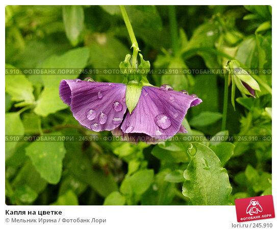 Купить «Капля на цветке», фото № 245910, снято 28 июня 2006 г. (c) Мельник Ирина / Фотобанк Лори