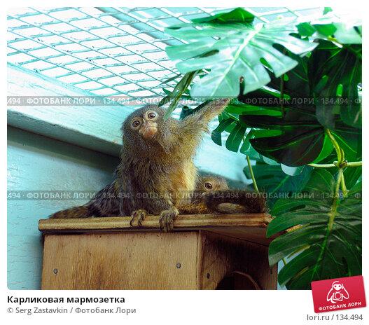 Карликовая мармозетка, фото № 134494, снято 10 октября 2004 г. (c) Serg Zastavkin / Фотобанк Лори