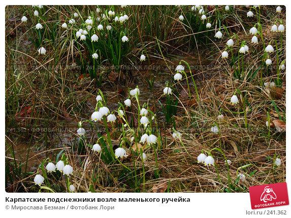 Карпатские подснежники возле маленького ручейка, фото № 241362, снято 16 марта 2008 г. (c) Мирослава Безман / Фотобанк Лори