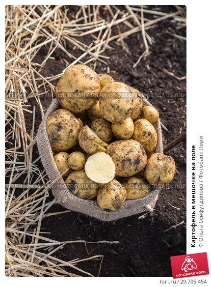 Купить «Картофель в мешочке на поле», фото № 29705454, снято 22 августа 2018 г. (c) Ольга Сейфутдинова / Фотобанк Лори
