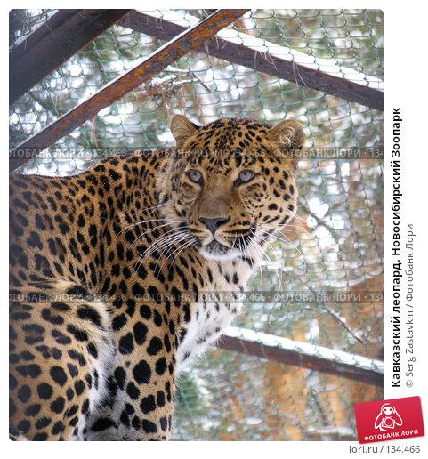 Кавказский леопард. Новосибирский Зоопарк, фото № 134466, снято 7 ноября 2004 г. (c) Serg Zastavkin / Фотобанк Лори